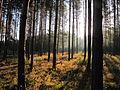 Las sosnowy w Krasnobrodzkim Parku Krajobrazowym.JPG
