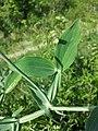 Lathyrus latifolius sl21.jpg