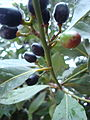 Laurel berries.jpg