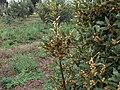 Laurus nobilis g5.jpg