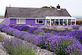 Lavender Field and cafe at Cheristow - geograph.org.uk - 1409763.jpg