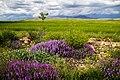 Lavender of Spring - panoramio.jpg