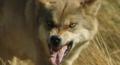 Le dernier loup - Les coulisses - l'entraînement des loups 1.png