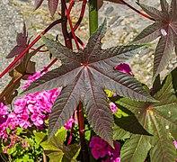 Leaf of Ricinus communis.jpg
