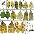 Leaf spot symptoms (10.3897-mycokeys.81.67850) Figure 2.jpg