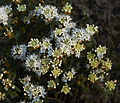 Ledem groenlandicum B.jpg