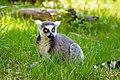 Lemur (26762670917).jpg