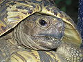 Leopard Tortoise2.JPG