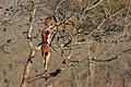 Leopardo (Panthera pardus) devorando un antílope, parque nacional Kruger, Sudáfrica, 2018-07-26, DD 08.jpg