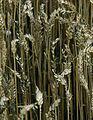 Les Plantes Cultivades. Cereals. Imatge 280.jpg