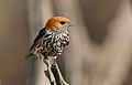 Lesser Striped Swallow, Cecropis abyssinica at Pilanesberg National Park, South Africa (29656795092).jpg