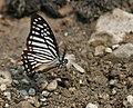 Lesser Zebra (Pathysa macarens) at Jayanti, Duars, West Bengal W IMG 5589.jpg