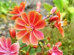 definition of lewisia