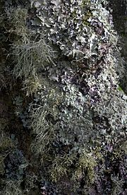 Lichen-covered tree, Tresco, Isles of Scilly, UK. Grey, leafy Parmotrema perlatum on upper half of trunk; yellowy-green Flavoparmelia caperata on middle and lower half and running up the extreme right side; and the fruiticose Ramalina farinacea