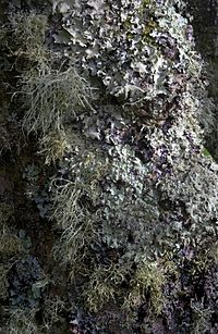 Lichen  Simple English Wikipedia the free encyclopedia