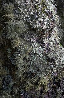 Lichen composite organism that arises from algae or cyanobacteria living among filaments of multiple fungi in a symbiotic relationship