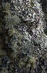Lichen-covered tree, Tresco.jpg