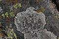 Lichen (43781635494).jpg