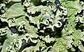 Lichen (Parmotrema perlatum) (8579621467).jpg