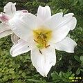 Lily (SG) (30603533815).jpg