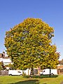 Lime Tree - geograph.org.uk - 998402.jpg