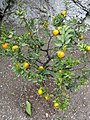 Limonaia del Castel - DSC02134.JPG