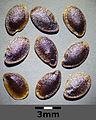 Linum alpinum sl6.jpg