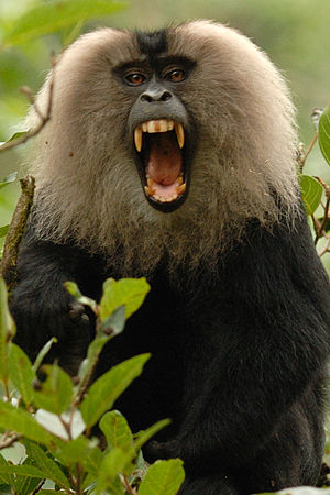 Lion-tailed macaque - A male showing his canines