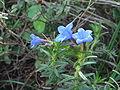 Lithodora prostrata 1.JPG