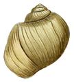 Lithoglyphus apertus shell 2.png