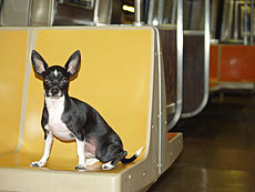Little Man Shankbone riding the rails of the NYC subway.jpg