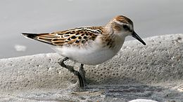 Little Stint (Calidris minuta) (6).jpg