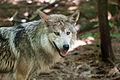 Lobo (4680192061).jpg