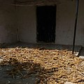 Local way of Grazing of Guinea corn.Photo 3.jpg