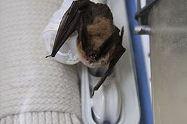 Long-eared myotis.jpg