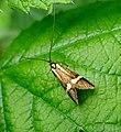 Longhorn .Adelidae. Nemophora degeerella. - Flickr - gailhampshire.jpg