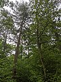 Looking up in Bourne Woods (geograph 6468457).jpg
