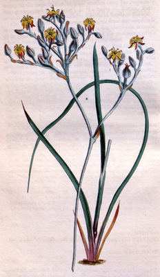 Illustration von Lophiola aurea