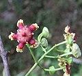 Lophopetalum wightianum flowers at Makutta (22).jpg