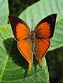 Loxura atymnus - Yamfly 10.JPG