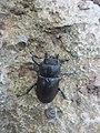 Lucanus cervus 13.jpg