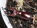 Lucanus elaphus adult male Wake Forest, NC.jpg