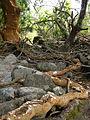 Luma apiculata - arrayan rojo (raiz).jpg