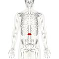 Lumbar vertebra 2 anterior.png