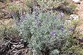 Lupinus argenteus plant.jpg