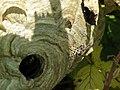 Lurking among the blackberries (9502997591).jpg