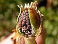 Lychnis alba fruit (3622695252).jpg