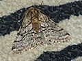 Lycia hirtaria ♂ - Brindled beauty (male) - Пяденица-шелкопряд бурополосая (самец) (40885531362).jpg
