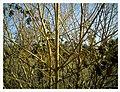 März zwischen Bahlingen und Teningen - panoramio (1).jpg