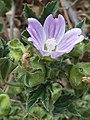 M.multiflora-gen-1.jpg